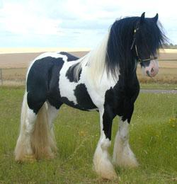 photo cheval pie noir